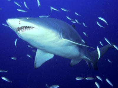 捕食者沙虎鲨