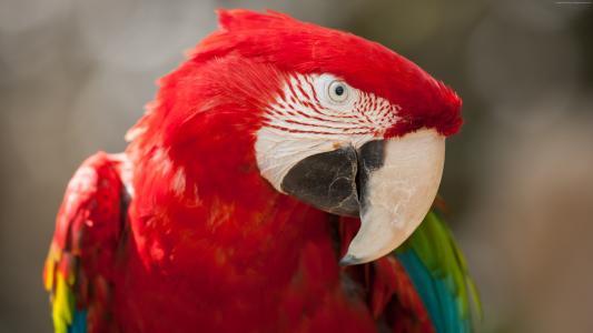 金刚鹦鹉鹦鹉,热带鸟,红色(水平)