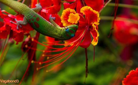蜥蜴希洛,夏威夷,蜥蜴,绿色,鲜花,红色,自然,动物,爬行动物(水平)