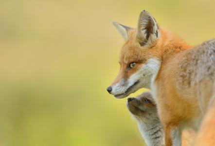 治愈狡黠的狐狸写真