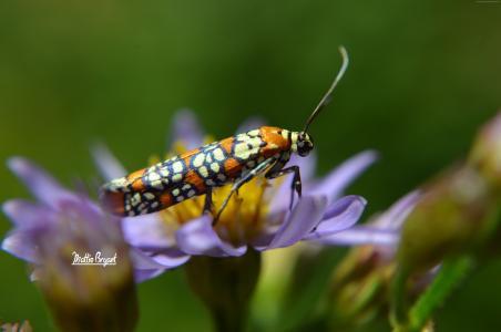 蛾,蝴蝶,花卉,昆虫,宏,花,橙色,绿色(水平)