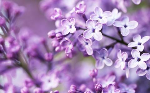 春天紫色的花朵