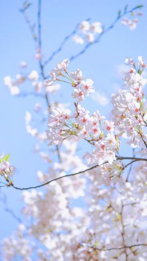 娇嫩可人的樱花