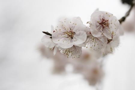 清新幽雅的杏花