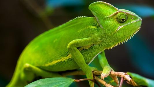 变色龙,绿色,高清