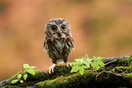 猫头鹰,鸡,森林,眼睛(水平)
