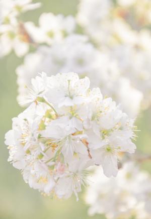 春日樱花绽放