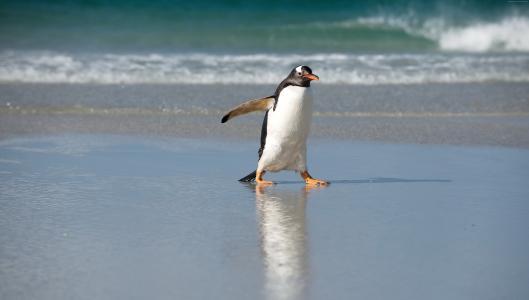 企鹅,岸,海,海洋,可爱的动物(水平)