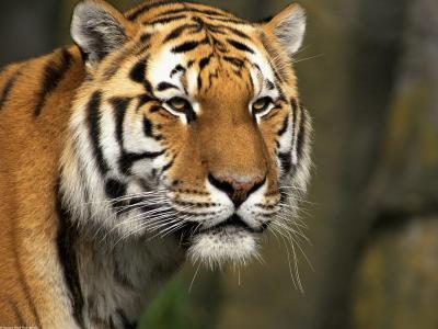 好奇的猫,西伯利亚虎