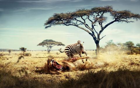 野生斑马追逐