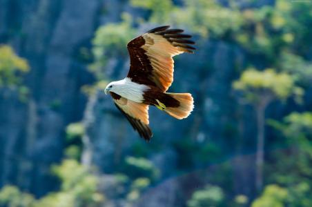 鹰,飞行,翼展,翅膀,鸟,看,性质,动物(水平)