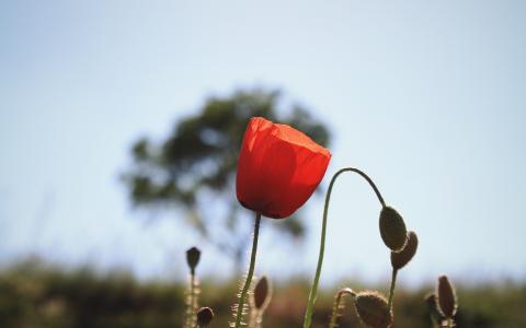 罂粟,开花植物