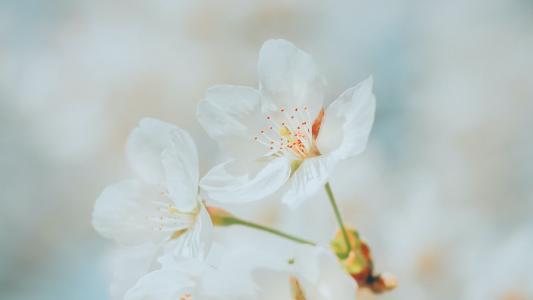 清新优美的樱花