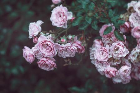 玫瑰,4k,高清壁纸,8k,鲜花,粉红色(水平)