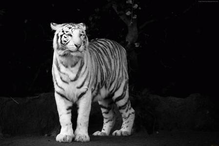 老虎,看,可爱的动物(水平)