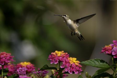 colibri,鲜花,飞行,模糊(水平)